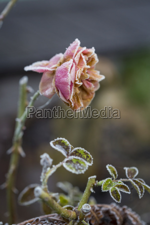 germany rosa rose in winter