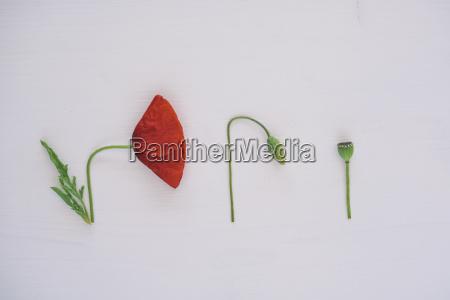 details of plant poppy white background