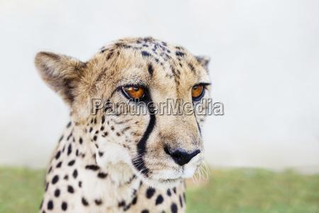 namibia kamanjab portrait of tame cheetah