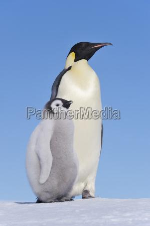 antarctica snow hill island emperor penguin