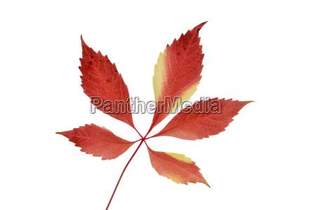 autumn leaf of virginia creeper in