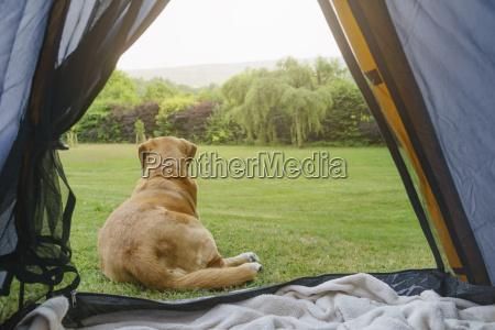 labrador retriever lying in front of