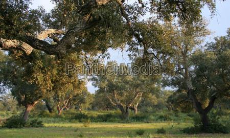 evening sun in the cork oak