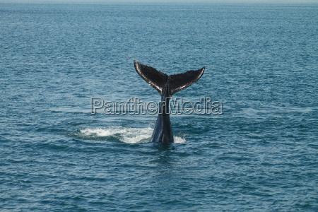 a young humpback whale megaptera novaeangliae