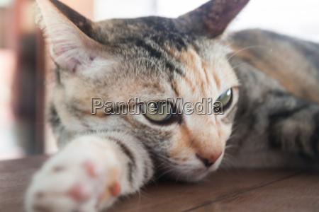 close up portrait of siamease cat