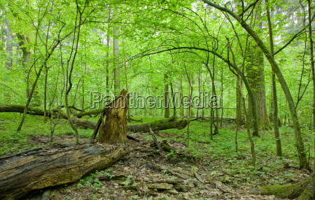 natural deciduous forest at spring