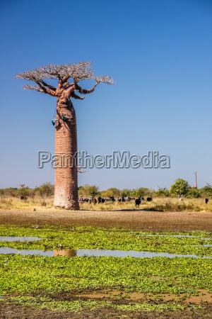 small lake and baobabs