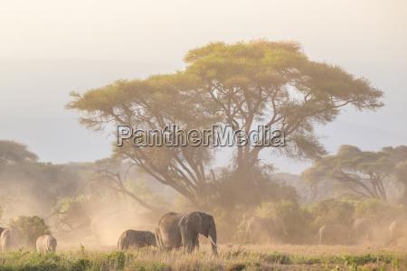 elephants in front of kilimanjaro amboseli