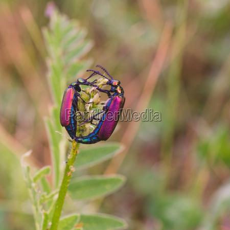 mating blister beetles