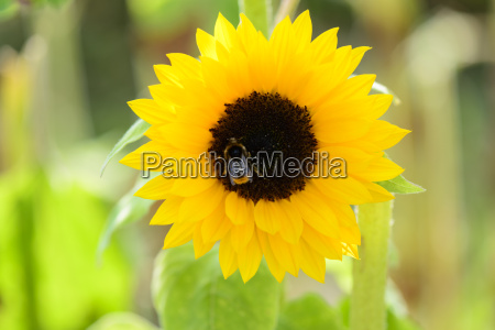 bumblebee in sunflower