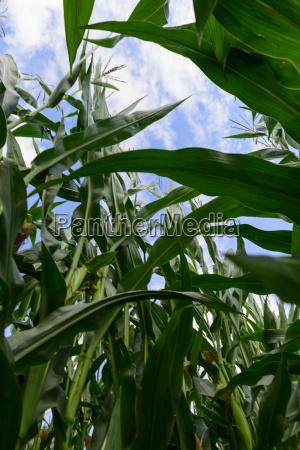 corn field from below