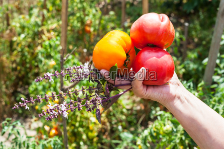 farmer hand holds ripe tomatoes and