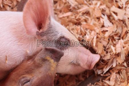 blue butt piglets still nursing from