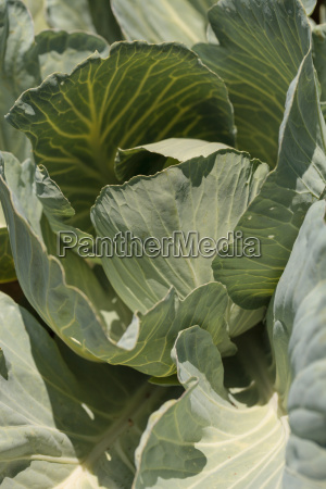 fresh cabbage grows on a small