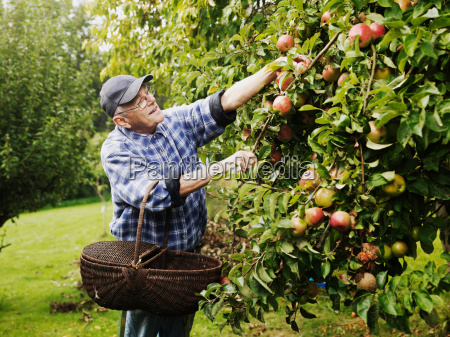 older man picking fruit from tree