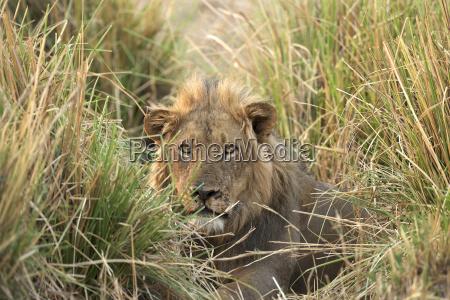 male lion panthera leo