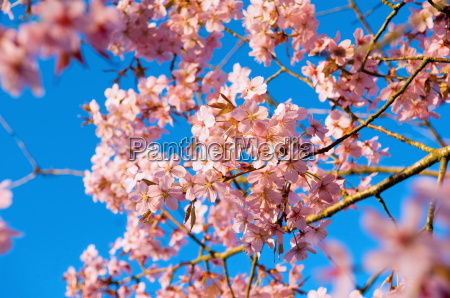 close up of sunlit pink tree
