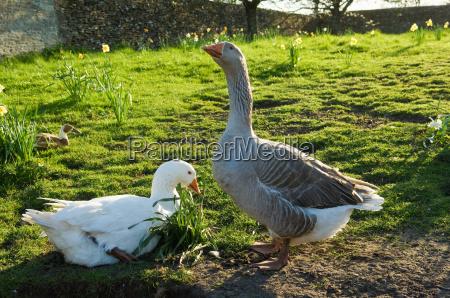 two farm geese in sunlit field