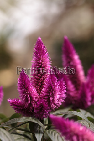 purple pink flower of celosia