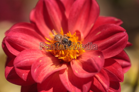 red dahlia flower called fascination with