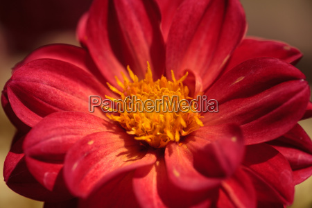 red dahlia flower called fascination in