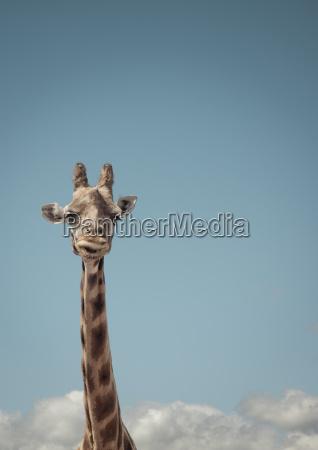 portrait of giraffe and blue sky