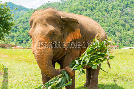 elephant in protected nature park