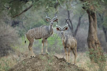 kudu tragelaphus strepsiceros two