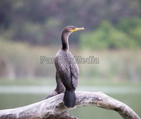 double-crested, cormorant, -, phalacrocorax, auritus., lake - 18220002