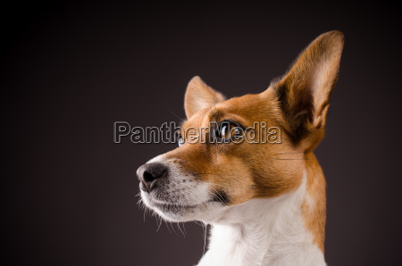 close up of a jack russell