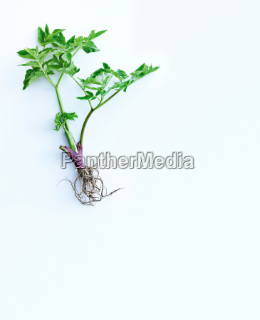 herb stems leaves and roots