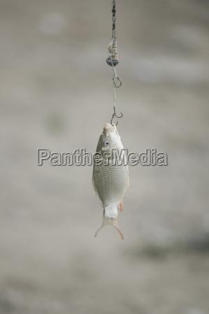 fish caught on hook