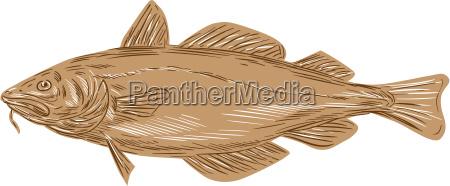 atlantic cod codling fish drawing