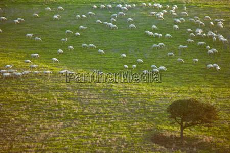 sheep grazing on grassy hillside