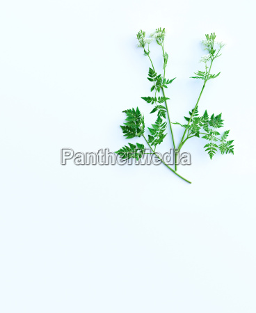 herb stems and leaves