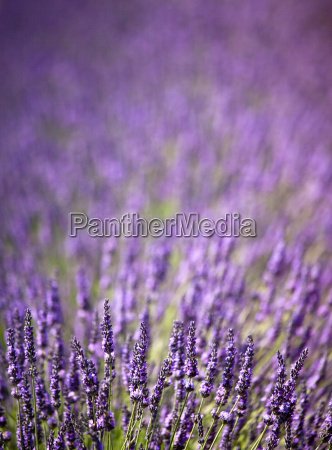close up of purple flowers in