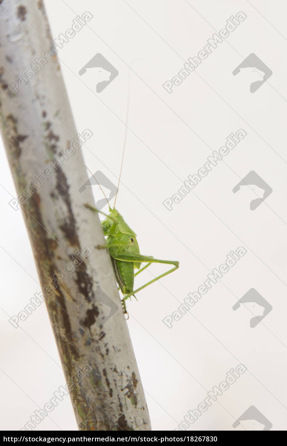 side, view, of, green, cricket, on - 18267830