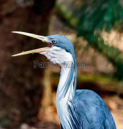 pied heron preen