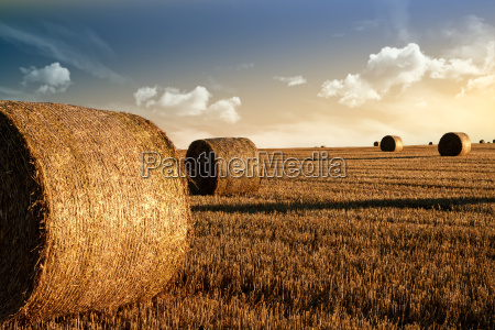 harvested field with straw bales in