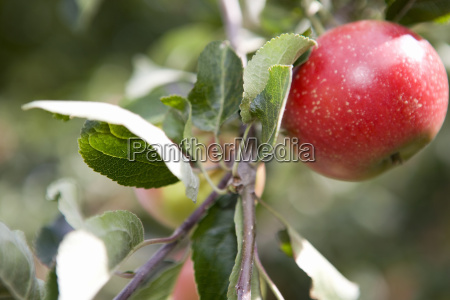 perfect ripe red apple