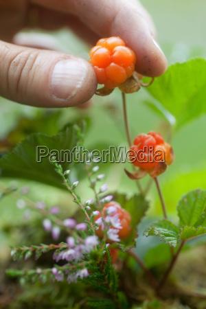 close up of man picking berries