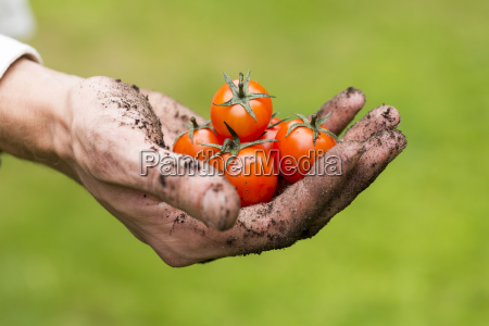 eco agriculture fresh raw tomatoes