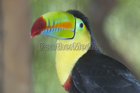 keel billed toucan ramphastos sulfuratus san