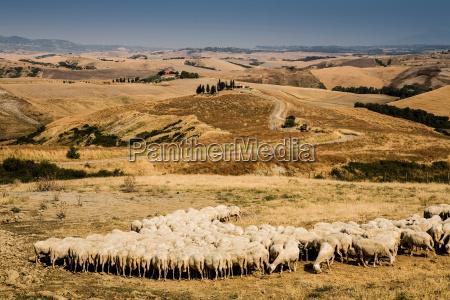 flock of sheep feeding in tuscan