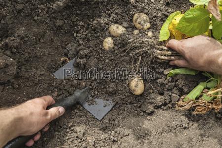 mature man digging up potatoes from