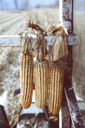 close up of harvested corn cobs