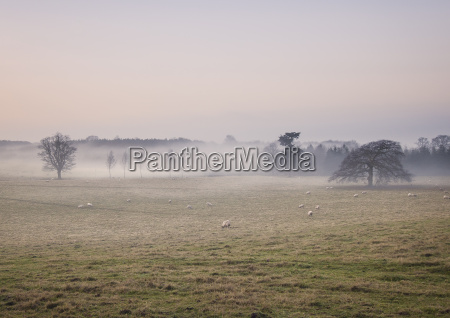 sheep grazing in foggy field at