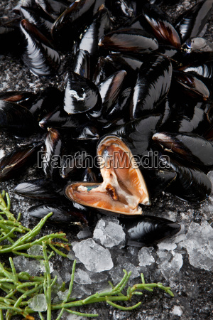 bed of mediterranean mussels