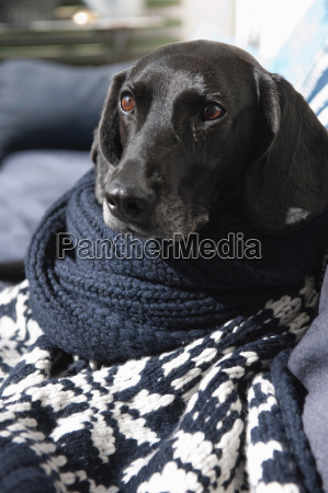 dog wrapped in knitted blanket on