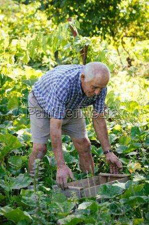 senior man tending vegetable garden tuscany
